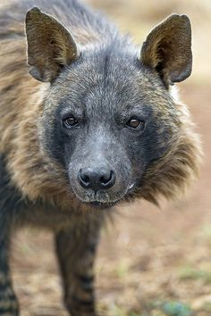 Brown Hyena ( Hyaena brunnea) - The brown hyena or wolf beach is one of four living species of hyenas. He is closely related to the striped hyena Beautiful Creatures, Animals Beautiful, Cute Animals, Small Animals, Brown Hyena, African Wild Dog, Carnivore, Interesting Animals, Nature