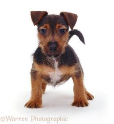 WP08717 Black and tan Jack Russell Terrier pup Gizmo