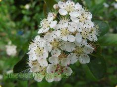 Wildobstschnecke - Apfelbeere / Aronia prunifolia Nero / Schwarze Apfelbeere / Kahle Apfelbeere
