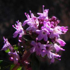 Alpen Thymian Bluete pink Thymus praecox