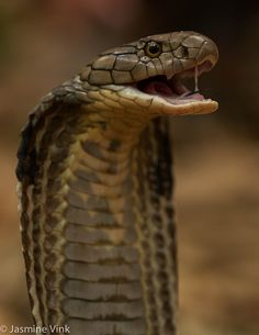 Karn the Cobra Spiders And Snakes, Poisonous Snakes, Snake Drawing, Snake Art, Cobra Tattoo, Snake Tattoo, King Cobra Snake, Snake Photos, Cute Snake