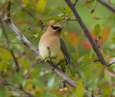Cedar waxwing - Jaseur d'amérique by franstonge #animals #animal #pet #pets #animales #animallovers #photooftheday #amazing #picoftheday