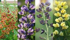 love the baptisia (false indigo) for spring color, from a  drought-tolerant perennial - Decadence™ series has compact plant form and saturated color. Available cultivars include 'Cherries Jubilee' (maroon and yellow), 'Blueberry Sundae' (vibrant blue), 'Dutch Chocolate' (dark plum), and 'Lemon Meringue' (yellow).