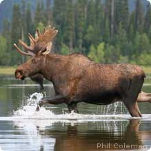 Moose can run at over 30 mph on land and paddle through water at 6 mph! #wildlifeweek