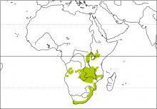 Brimstone Canary (Serinus sulphuratus)