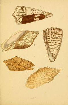 Beautiful shells by Adams, H. G.  --  their nature, structure, and uses familiarly explained, with directions for collecting, cleaning, and arranging them in the cabinet : descriptions of the most remarkable species, and of the creatures which inhabit them : and explanations of the meanings of their scientific names, and of the terms used in conchology  --  Published 1855
