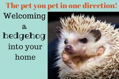 Welcoming a hedgehog into your home via www.allthevs.com Hedgehog Care, Cute Hedgehog, Hedgehog Supplies, Classroom Pets, All About Animals, Pet Life, Woodland Creatures, Bearded Dragon, Mans Best Friend