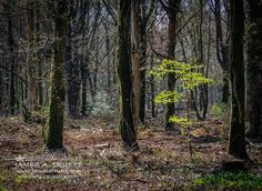 In the Woods of W. B. Yeats at Ireland's Coole Park