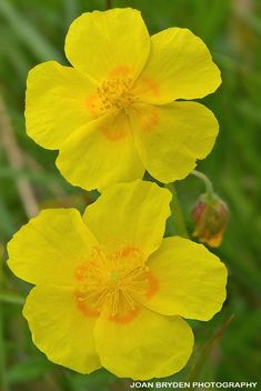 -BLEN flores de Bach- Common rock rose British Wild Flowers, Elixir Floral, Bach Flowers, Rock Rose, British Wildlife, Morning Images, Flower Photos, Flower Cards, Pansies