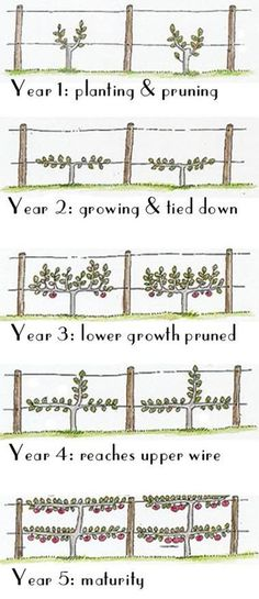 Know your Wine... Know your Vine How to Train a Grape Vine