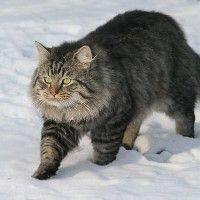 #dogalize Razas Felinas: Gato aleman de pelo largo carácter #dogs #cats #pets