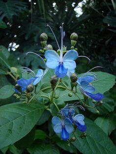 Borboleteira ou trepadeira borboleta azul. Nome científico: Clerodendrum ugandense.