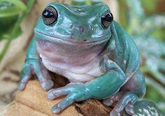 White's Tree Frog. Classification: Amphibian. Genus/Species: Litoria caerulea Natural Range: Australia
