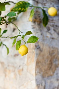 See cool Lemon trees...