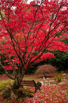 100 Best Japanese Maple Fall Color Images Japanese Maple Acer