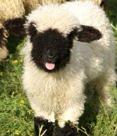 Walliser Schwarznasenschafe » Sonstige Haustiere aus Altenburg Swiss black nose sheep!