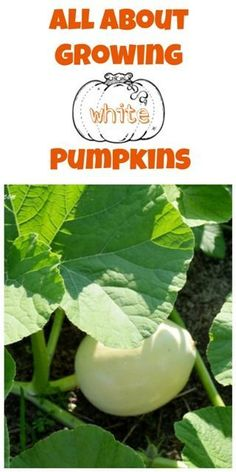 Here are all the details on how to grow your own white pumpkins!