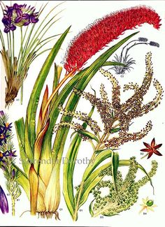 Flowering Rushes Plants Australia Botanical by SurrenderDorothy