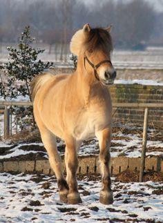 Henro (Anton x Timor) van Hengstenhouderij Hestegaarden