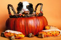Looks like someone is all ready for fall! (That's a guinea pig after my own heart! :)) #guinea_pig #fall #autumn #Thanksgiving #cute