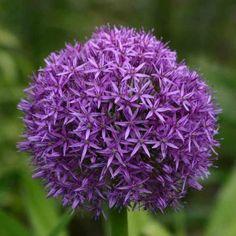 Allium Globemaster blommar #2