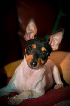 Toy Fox terrier Toy Fox Terriers, Terrier Puppies, Tiny Puppies, Pet Dogs, Pets, Cute Dog Pictures, Love Your Pet, Dog Id, Small Dog Breeds