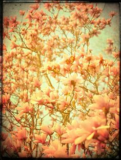 Magnolia Photograph art Flower Print  Stuck In by CarlChristensen,