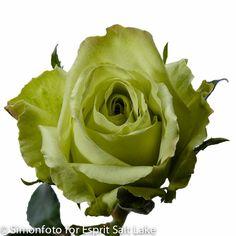 """Green Tea"" green rose"