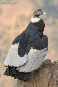 Andean condor -   (Vultur gryphus) New World vulture.