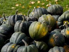 how to know when to pick acorn squash!
