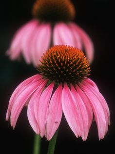 Echinacea Plant Echinacea angustifolia was widely used by the North American Plains Indians for its general medicinal qualities.