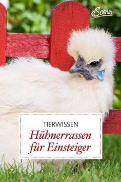 Für viele ist es ein großer Traum Hühner selber zu halten. Aber welche Rassen sich da am besten für Anfänger eignen, lesen Sie gleich hier. Bird Food, Good Photos, Sheep, Reading, Animales