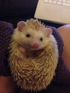 Our new Cinnot Hedgehog miss cinnamon