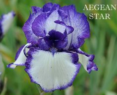 TB Iris germanica 'Aegean Star' (Plough, 1971)