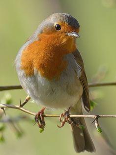 Baby face - The European robin (Erithacus rubecula) Fairy Oak, Robin Jones, Nester, Animals And Pets, Cute Animals, European Robin, Scrapbook Images, Robin Redbreast, Robin Bird