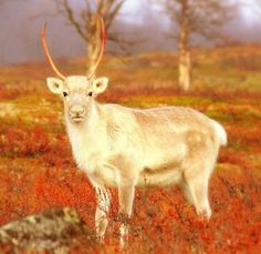 Reindeer are so sweet. This one came to take a closer look while I was sitting on a rock in Paistunturi wilderness.