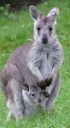 baby wallaroo peeks out of the pouch