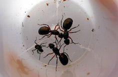 Evde karınca nasıl gider? İşte en etkili karınca ilacı - Yaşam Güncel Haberler