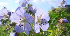 Geranium pratense 'Mrs Kendall Clark' op vasteplant.be