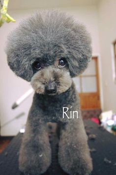 The Hottest Hairstyles for Your Dogs Dog Grooming Styles, Poodle Grooming, Pet Grooming, Mini Poodles, French Poodles, Toy Poodles, Poodle Cuts, Poodle Mix, Cortes Poodle