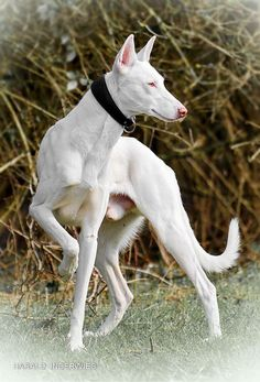 Best Images and Ideas about Pharaoh Hound, The Oldest Dog Breed Beautiful Dogs, Animals Beautiful, Animals And Pets, Cute Animals, Dog Anatomy, Rare Dogs, Rare Dog Breeds, Ibizan Hound, Pharaoh Hound