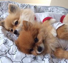 Poms Sleeping #poms #pomeranians