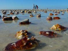 conch shells sanibel florida west coast
