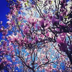 Magnificent magnolias   #mosman #flowers #magnolias #spring #colour #woo by haartd