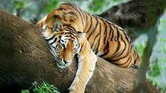 Tigre en árbol