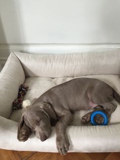 10 weeks old sleepy head Sleepy Head, Weimaraner, Pitbulls, Puppies, Dogs, Animals, Cubs, Animales, Pit Bulls