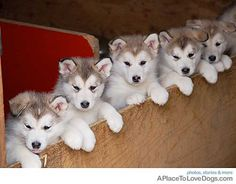 5 malamutes in a row