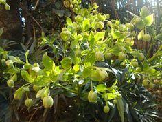 Helleborus foetidus in my garden http://lefotodiluisella.blogspot.it/