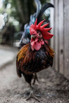 curious rooster | farm animals + pet photography #chickens