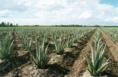 Aloe fields in Harlingen, Texas Where many of the aloe products you buy now on store shelves come from.